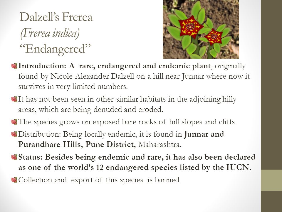 Dalzell's Frerea (Frerea indica) Endangered Introduction: A rare, endangered and endemic plant, originally found by Nicole Alexander Dalzell on a hill near Junnar where now it survives in very limited numbers.
