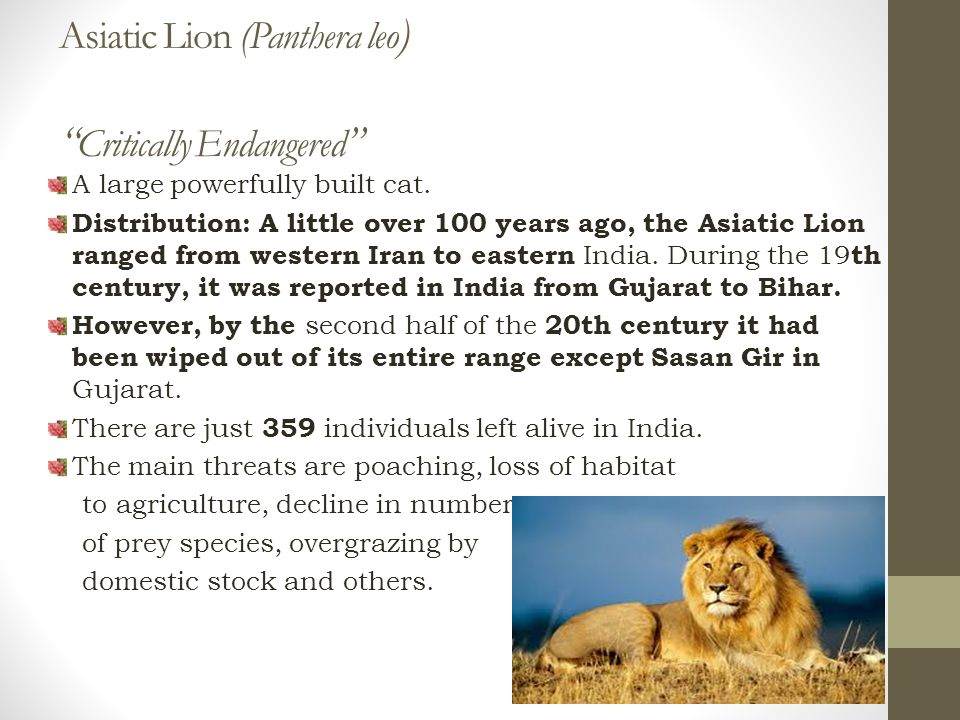 Asiatic Lion (Panthera leo ) Critically Endangered A large powerfully built cat.