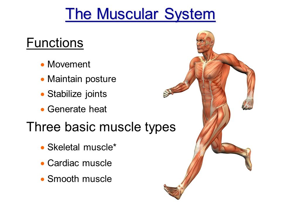 Chapter 6 The Muscle Anatomy The Muscular System Functions