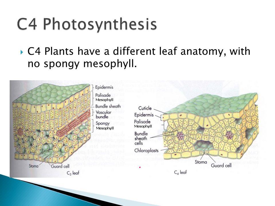Fine Kranz Anatomy In C4 Plants Gallery - Anatomy Ideas - yunoki.info