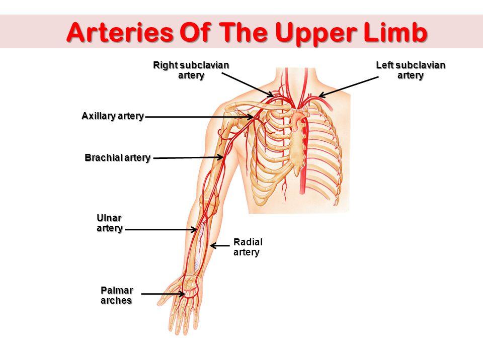 anatomy of brachial artery images & pictures - moyuk, Cephalic Vein