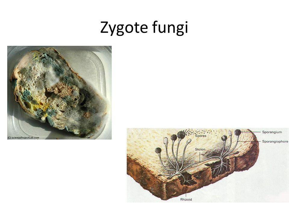 Zygote fungi