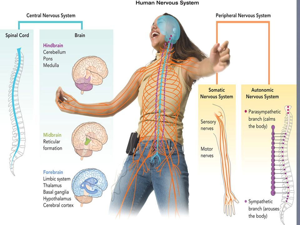 Technical terms and explanations for the nervous system consisting ...