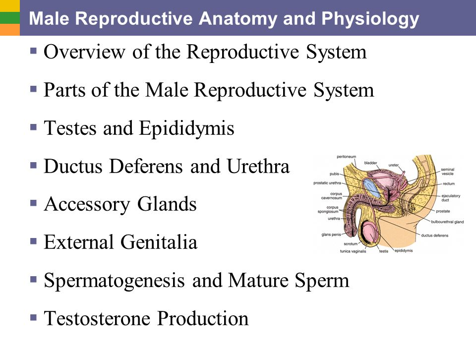 Male Reproductive Anatomy and Physiology  Overview of the ...