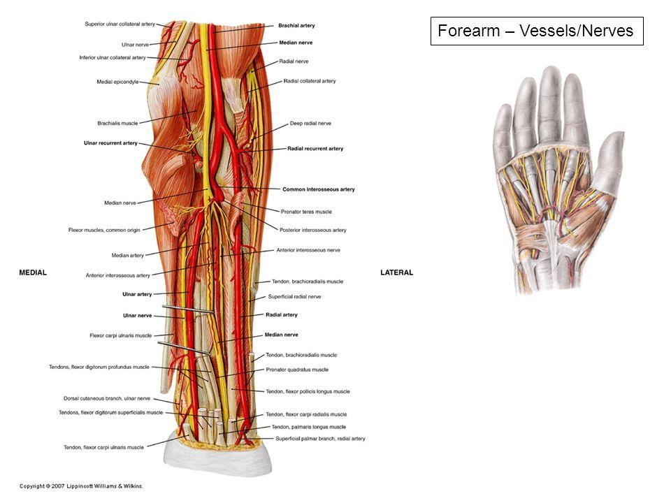 Niedlich Hand Anatomie Nerven Zeitgenössisch - Anatomie Ideen ...
