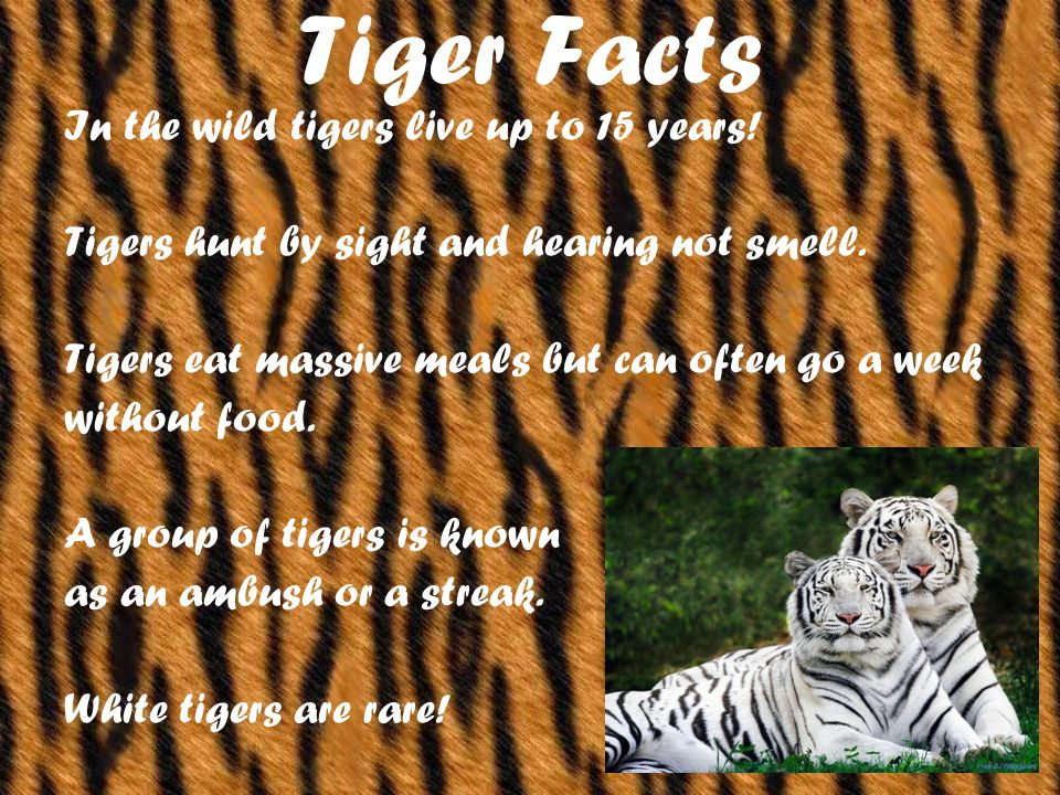 Tiger Facts In the wild tigers live up to 15 years.