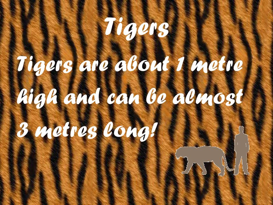 Tigers are about 1 metre high and can be almost 3 metres long!