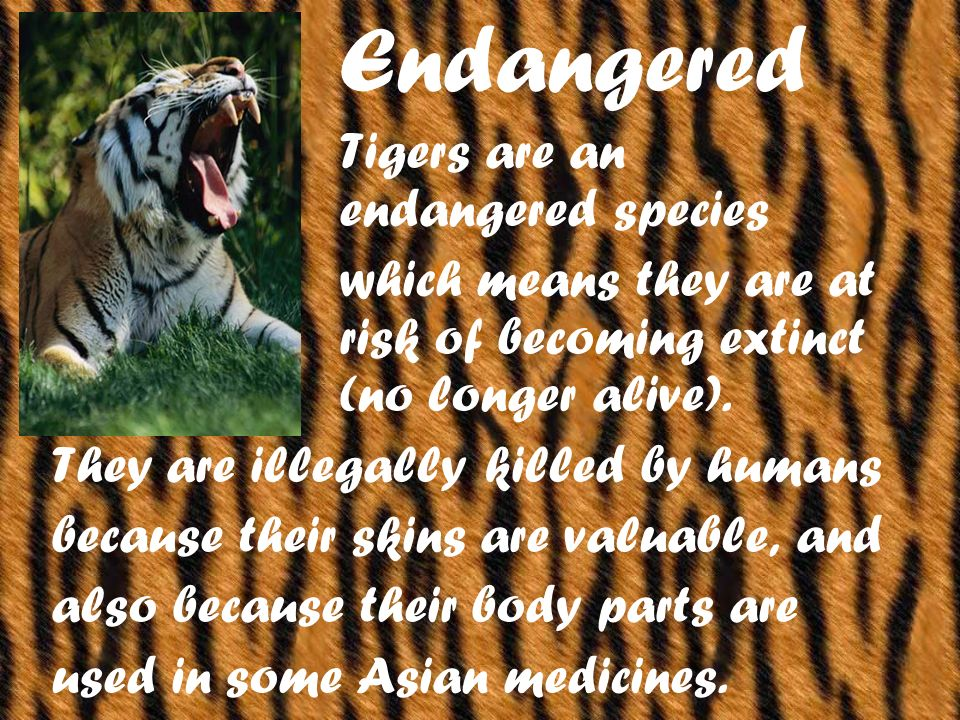 Endangered Tigers are an endangered species which means they are at risk of becoming extinct (no longer alive).