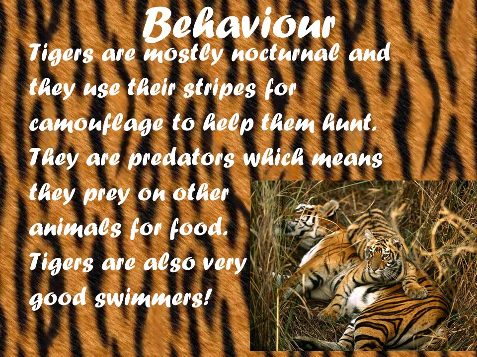 Behaviour Tigers are mostly nocturnal and they use their stripes for camouflage to help them hunt.
