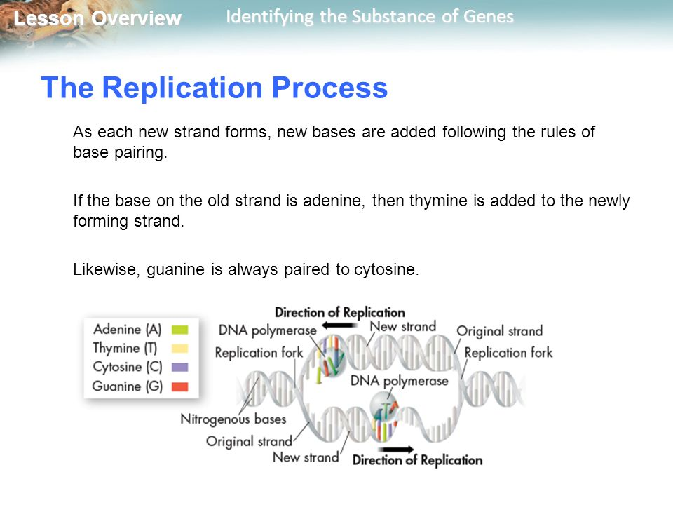 Lesson overview 121 identifying the substance of genes ppt lesson overview lesson overview identifying the substance of genes the replication process as each new strand pronofoot35fo Choice Image