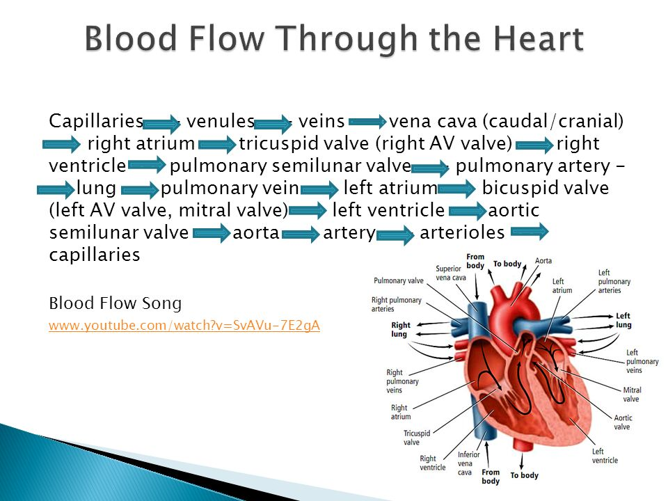 Arteries: largest blood vessel; carries blood away from the heart ...