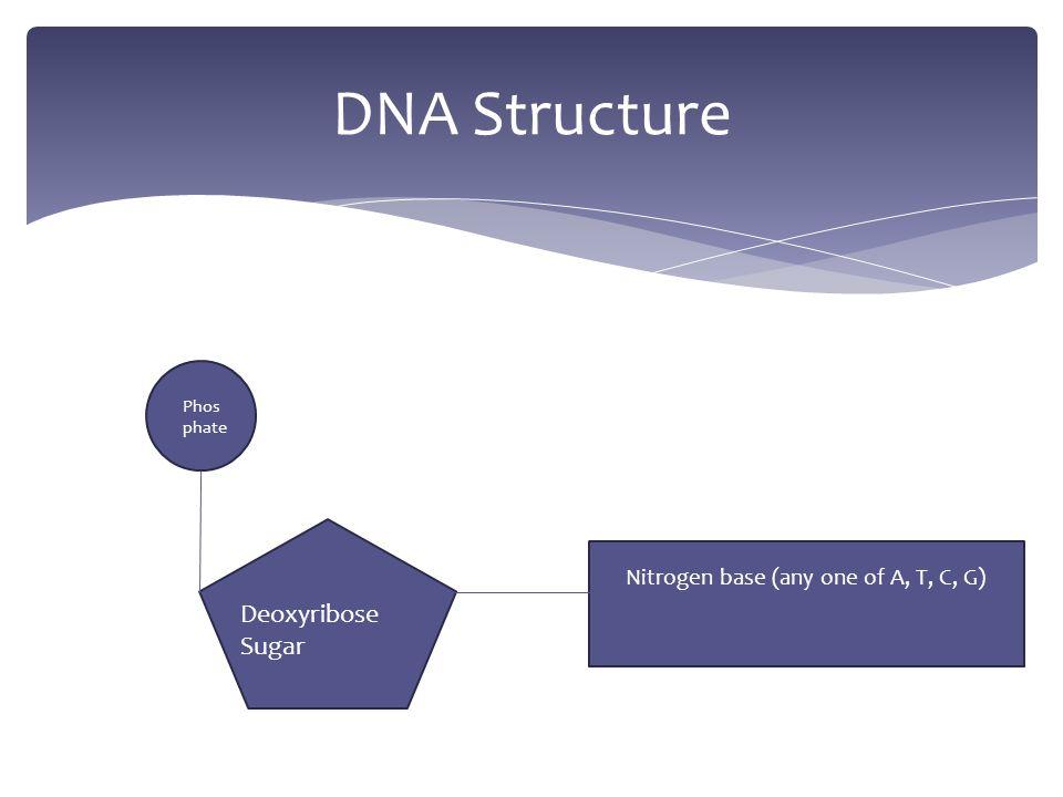 Nitrogen base (any one of A, T, C, G) Deoxyribose Sugar Phos phate
