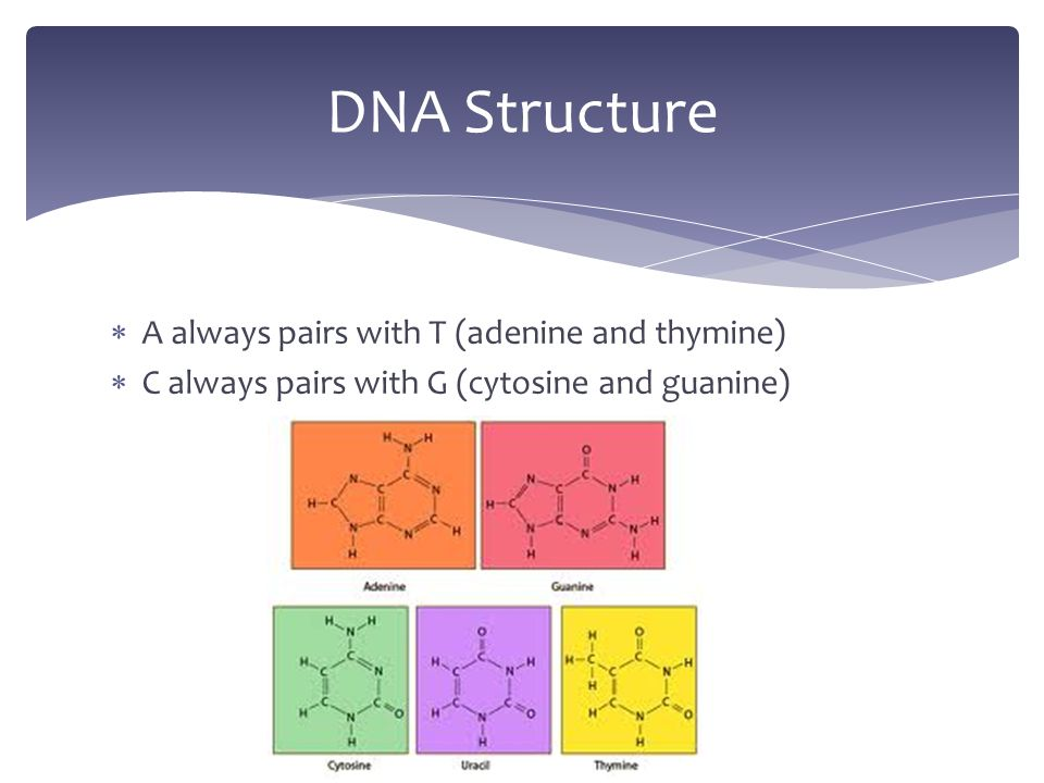  A always pairs with T (adenine and thymine)  C always pairs with G (cytosine and guanine) DNA Structure