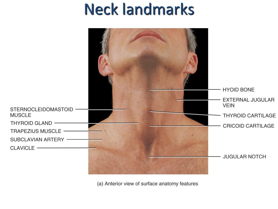 Neck Anatomy Images Image collections - human body anatomy