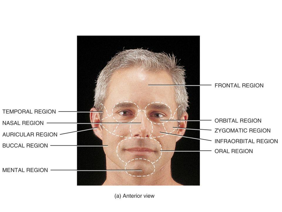Beautiful Anatomy Of A Face Motif - Anatomy And Physiology Biology ...
