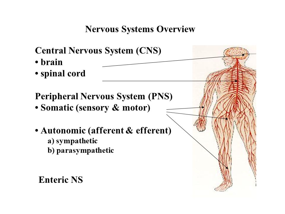 Nervous Systems Overview Central Nervous System Cns Brain Spinal