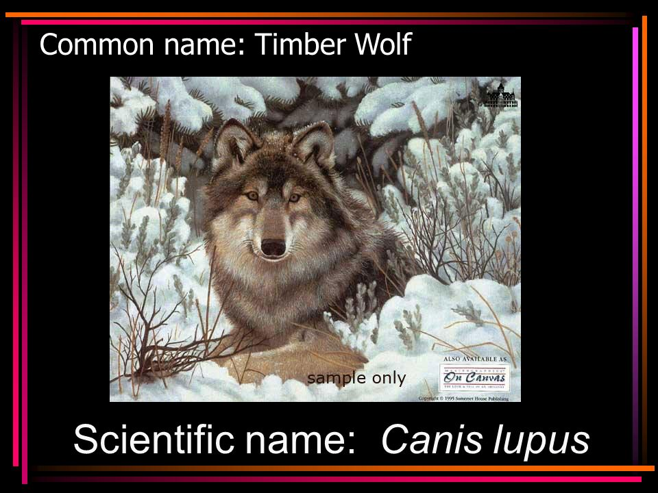 Common name: Timber Wolf Scientific name: Canis lupus