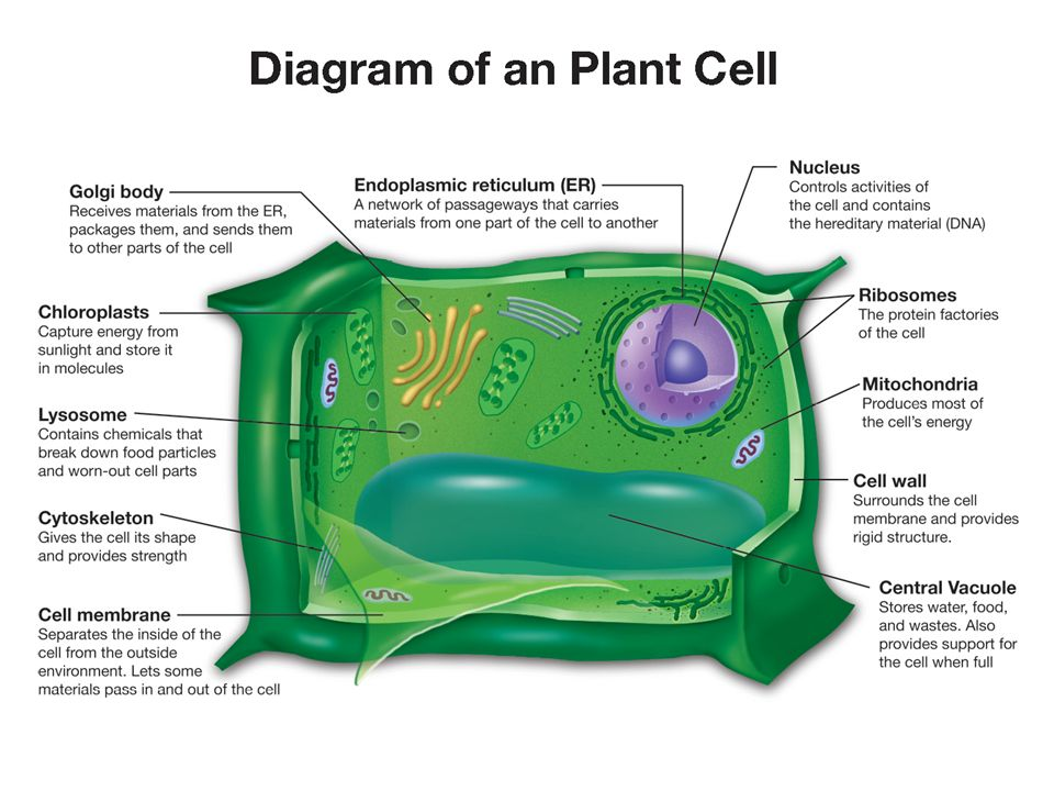 science 10 cell structures and functions Science biology cells and are involved in virtually all cell functions each protein within the body has a specific structure of a protein may be.
