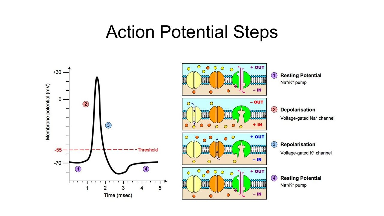 action potentials View lab report - action potentials from bio 290 at university of phoenix laboratory report activity: action potentials name: sean collom instructor: greta bolin date: 09142016 predictions 1.