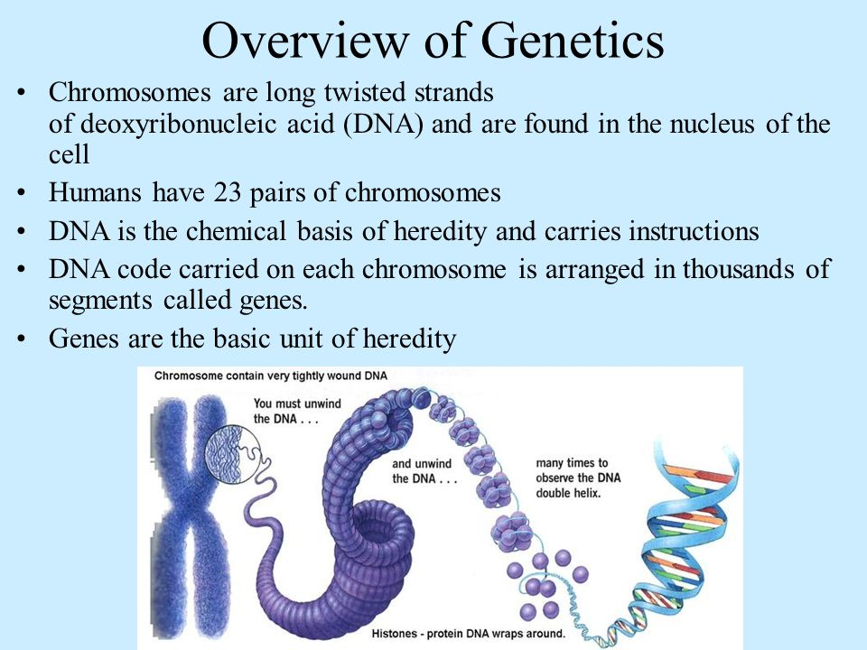Overview of Genetics Chromosomes are long twisted strands of deoxyribonucleic acid (DNA) and are found in the nucleus of the cell Humans have 23 pairs of chromosomes DNA is the chemical basis of heredity and carries instructions DNA code carried on each chromosome is arranged in thousands of segments called genes.