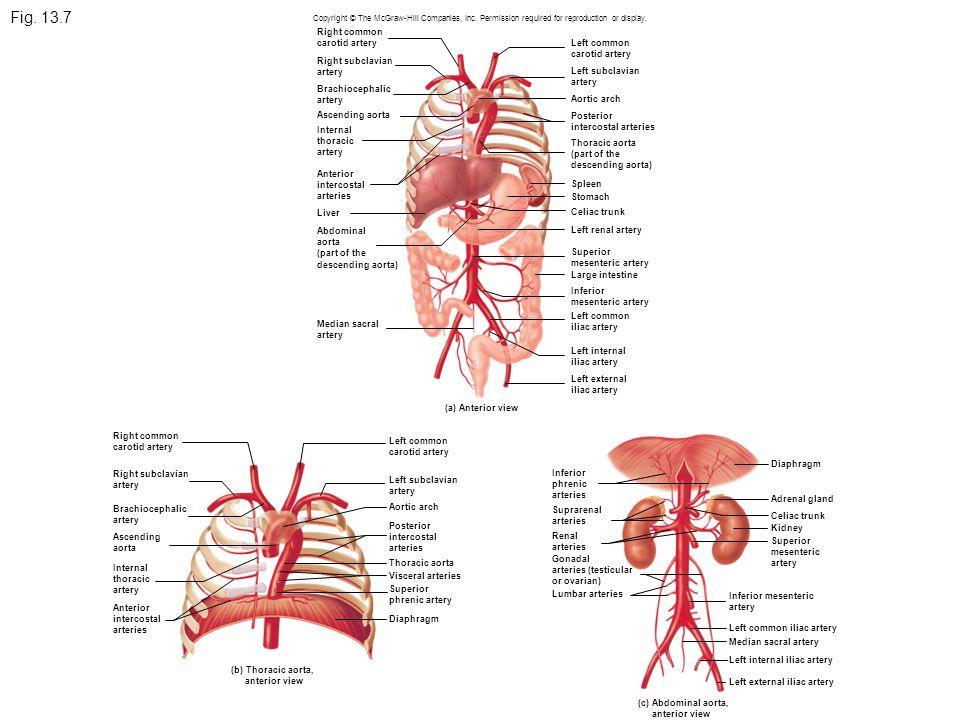 Fig. 13.7 Right common carotid artery Right subclavian artery Brachiocephalic artery Ascending aorta Internal thoracic artery Anterior intercostal art