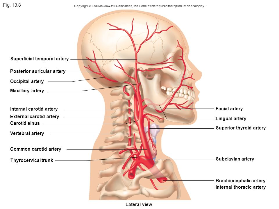 Fig. 13.8 Copyright © The McGraw-Hill Companies, Inc. Permission required for reproduction or display. Superficial temporal artery Posterior auricular