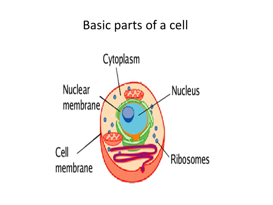 Animal cell and plant cell characteristics cell facts all living 3 basic parts ccuart Images
