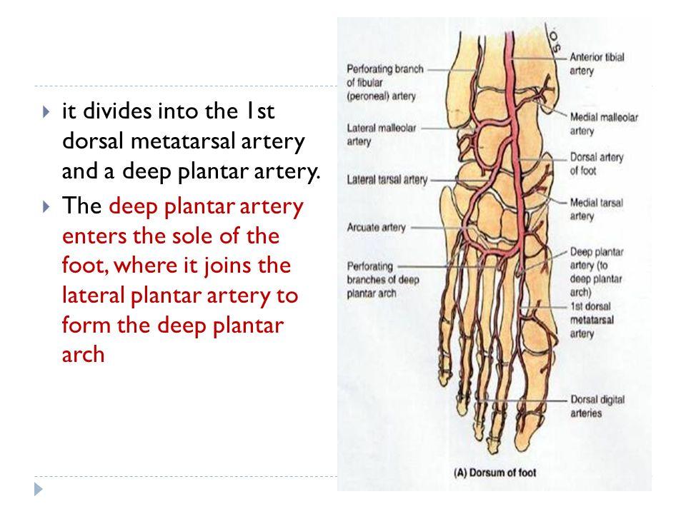 Foot Artery Anatomy Gallery - human body anatomy
