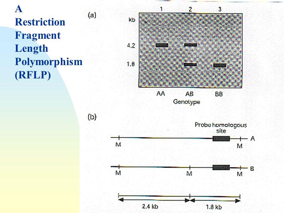 A Restriction Fragment Length Polymorphism (RFLP)