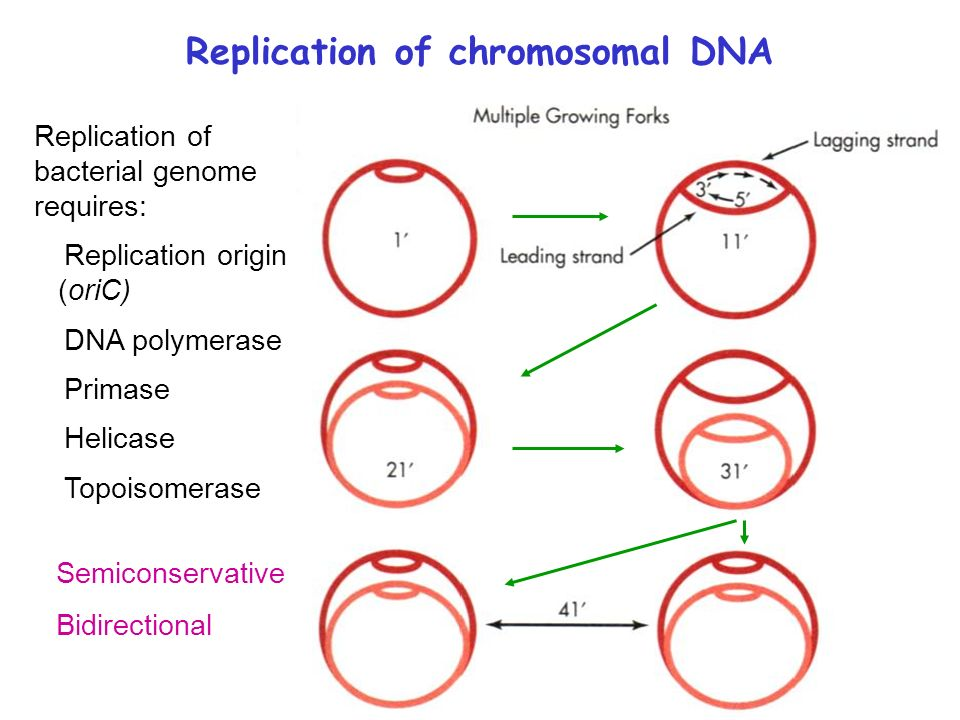Microbial genetics replication of chromosomal dna transcriptional 3 replication of chromosomal dna replication of bacterial genome requires replication origin oric dna polymerase primase helicase topoisomerase ccuart Choice Image