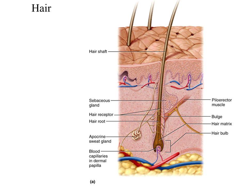 Famoso Anatomy Of Human Hair Imagen - Anatomía de Las Imágenesdel ...