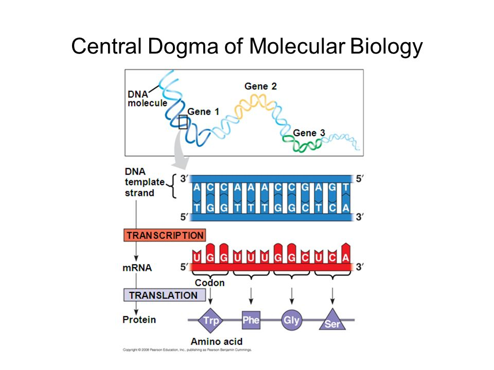 the central dogma of molecular biology dna  rna  protein, Presentation templates
