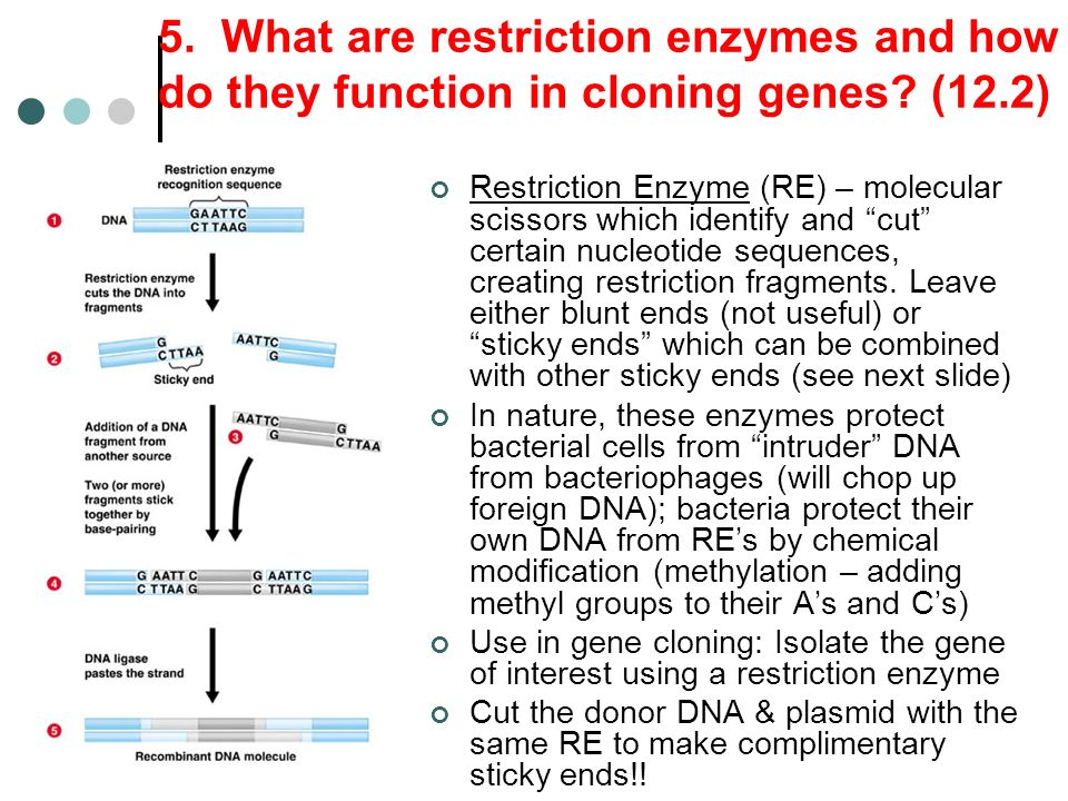 Chapter 12 DNA Technology and Genomics aka GENETIC ENGINEERING – Restriction Enzymes Worksheet