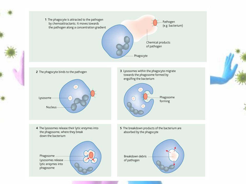immune response non-specific immunity. non-specific (response is, Human Body