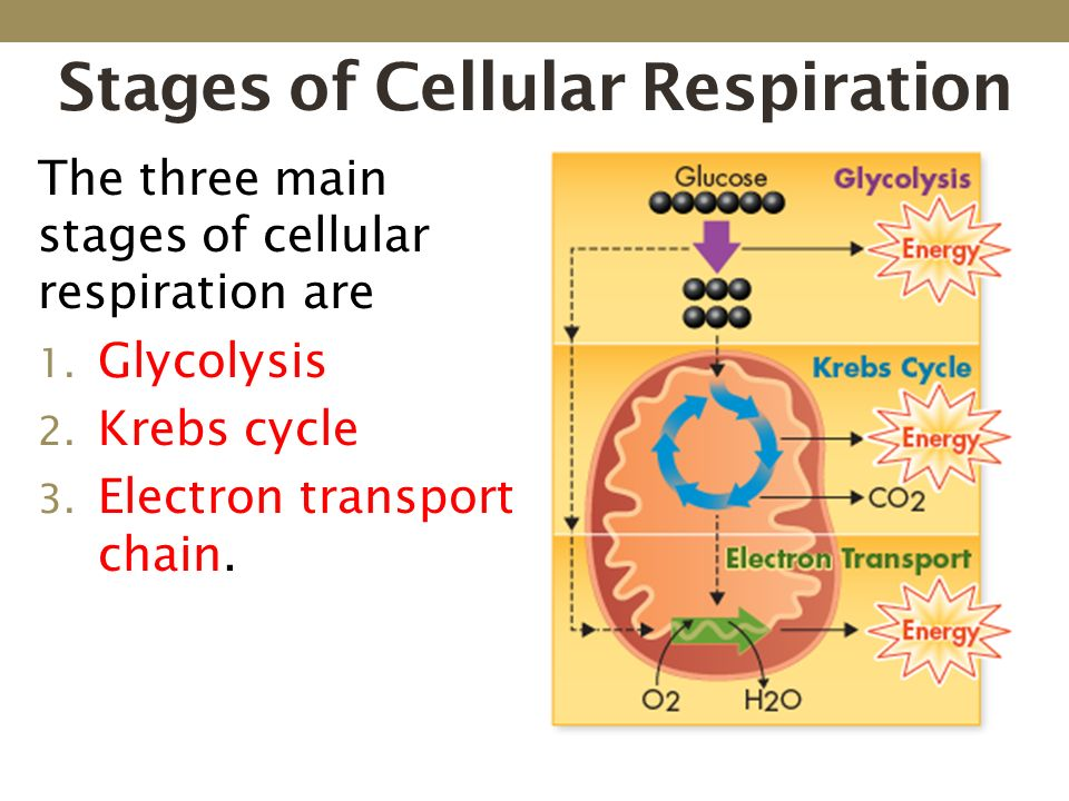 a study of cellular respiration Adv biology: photosynthesis and cellular respiration study guide • chapter 8 • all vocabulary – see notes • energy: atp, adp, amp atp cycle.