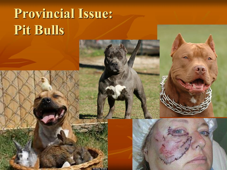 Provincial Issue: Pit Bulls