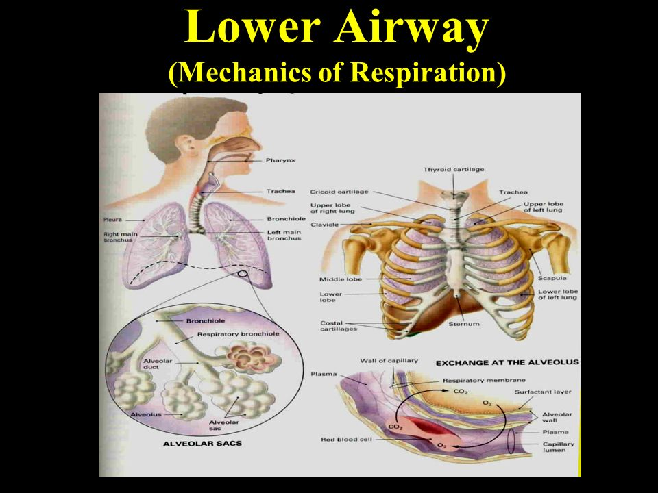 Fine Upper And Lower Airway Anatomy Image Collection - Anatomy And ...