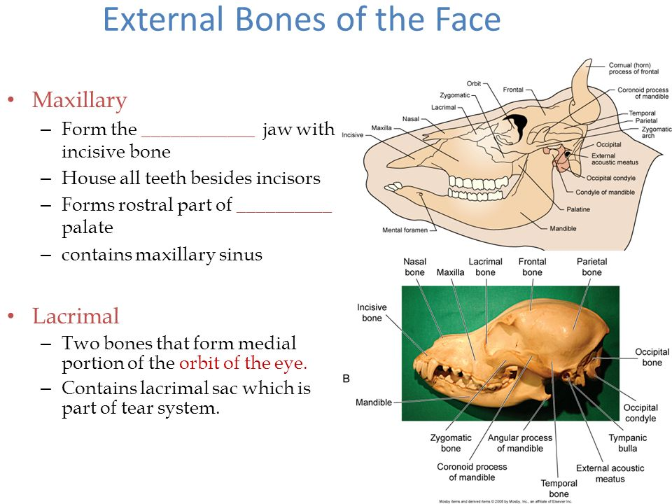 Common Bone Features Articular surfaces – Joint surfaces (where ...