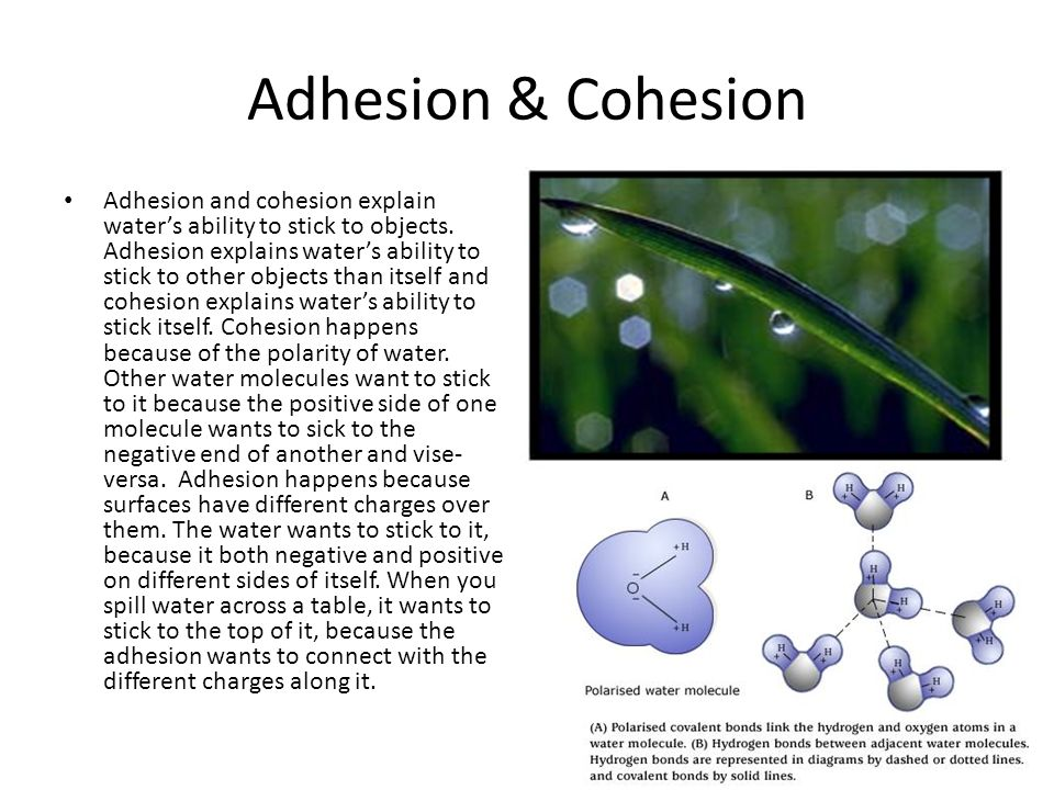 Adhesion & Cohesion Adhesion and cohesion explain water's ability to stick to objects.