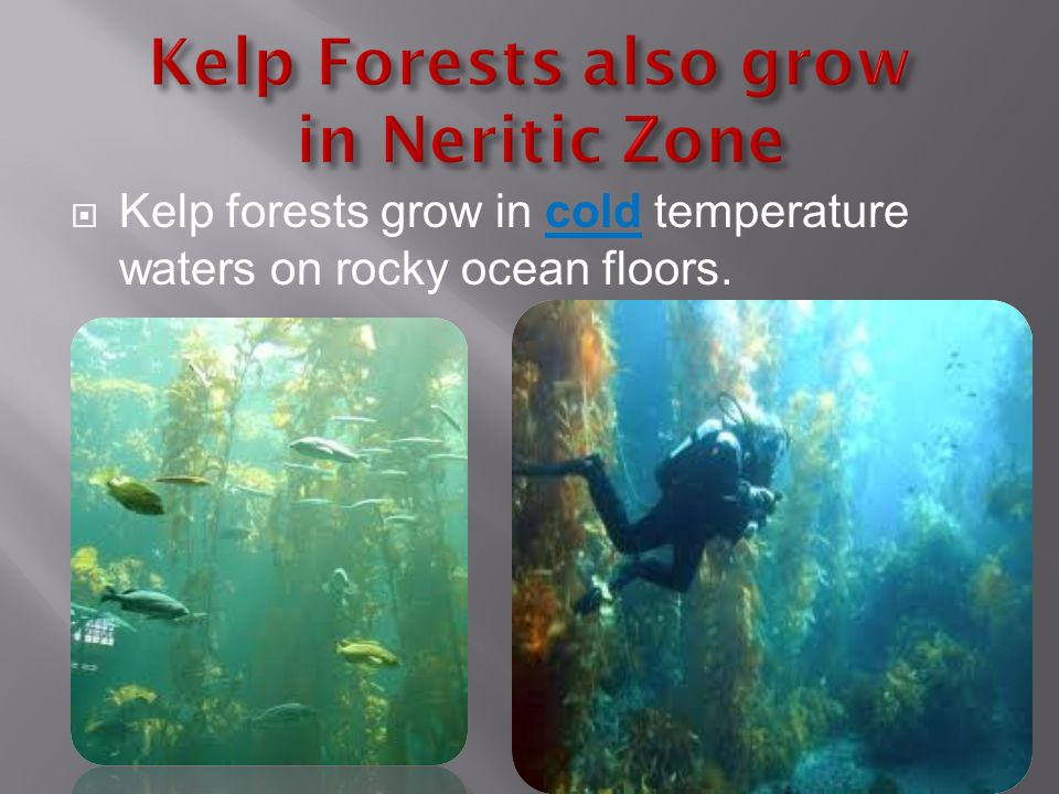  Kelp forests grow in cold temperature waters on rocky ocean floors.