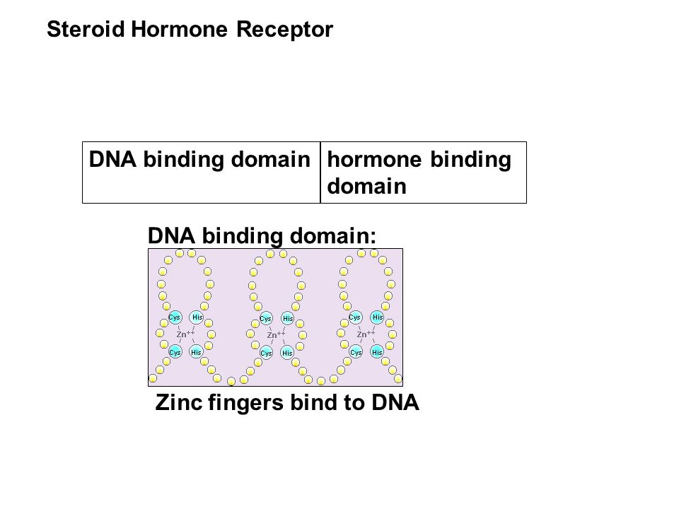 Steroid Hormone Receptor DNA binding domain DNA binding domain: Zinc fingers bind to DNA hormone binding domain