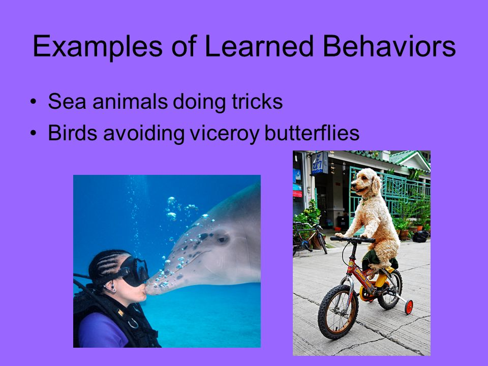 Inherited And Learned Behaviors Traits Behavior Traits Are