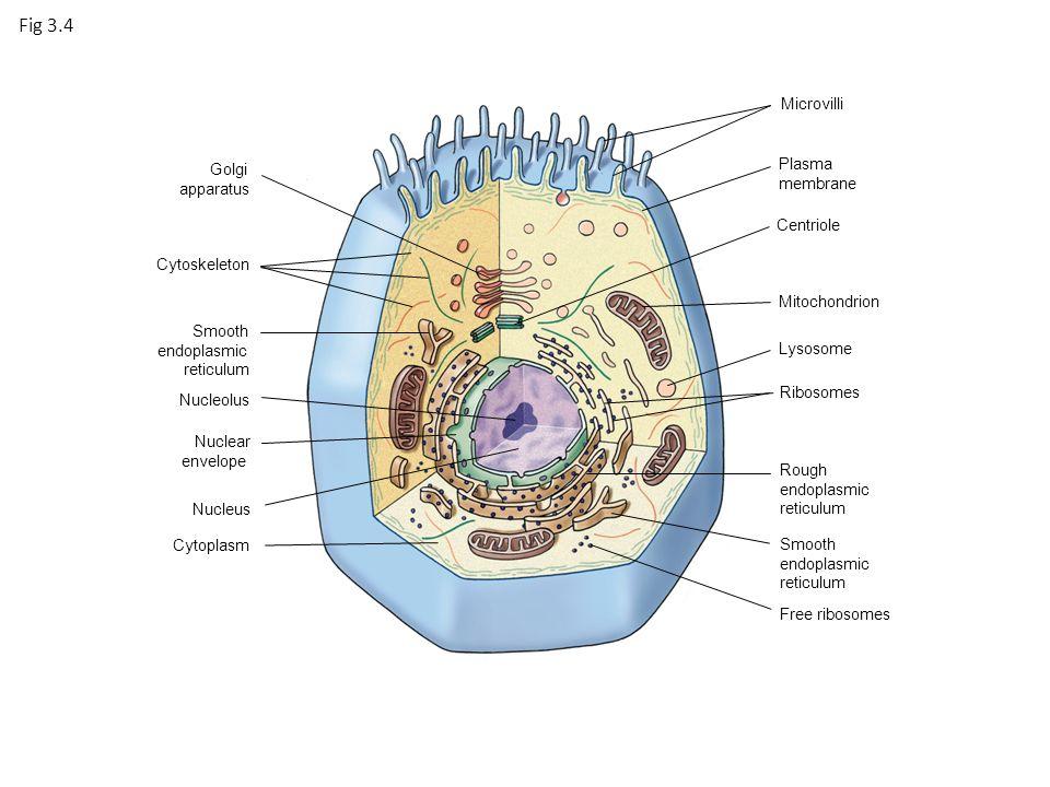 Animal cell diagram golgi apparatus cytoskeleton smooth endoplasmic 3 golgi apparatus cytoskeleton smooth endoplasmic reticulum nucleolus nuclear envelope nucleus cytoplasm microvilli plasma membrane centriole mitochondrion ccuart Images