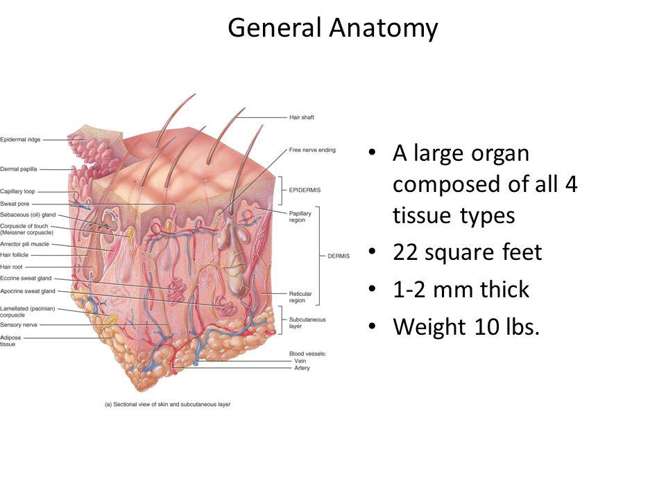 Fantastisch Integumentary System Nägel Galerie - Anatomie und ...
