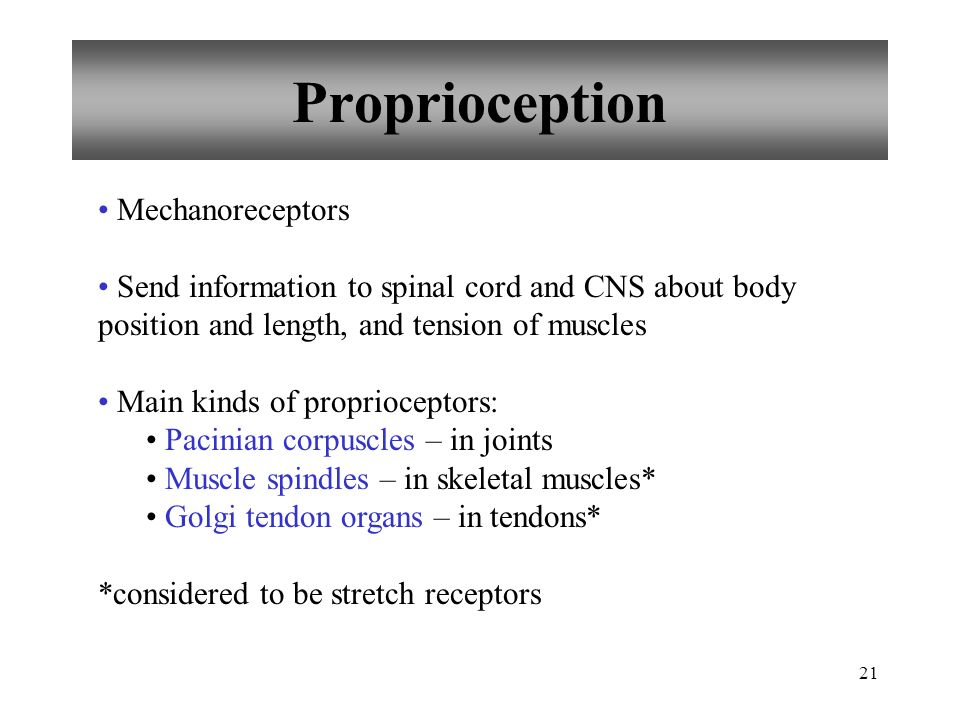 21 Proprioception Mechanoreceptors Send information to spinal cord and CNS about body position and length, and tension of muscles Main kinds of proprioceptors: Pacinian corpuscles – in joints Muscle spindles – in skeletal muscles* Golgi tendon organs – in tendons* *considered to be stretch receptors