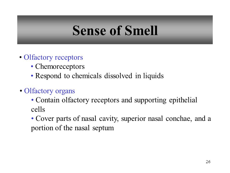 26 Sense of Smell Olfactory receptors Chemoreceptors Respond to chemicals dissolved in liquids Olfactory organs Contain olfactory receptors and supporting epithelial cells Cover parts of nasal cavity, superior nasal conchae, and a portion of the nasal septum