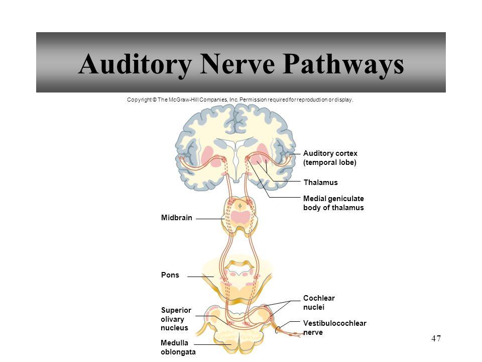 47 Auditory Nerve Pathways Midbrain Pons Thalamus Auditory cortex (temporal lobe) Medial geniculate body of thalamus Superior olivary nucleus Medulla oblongata Vestibulocochlear nerve Cochlear nuclei Copyright © The McGraw-Hill Companies, Inc.