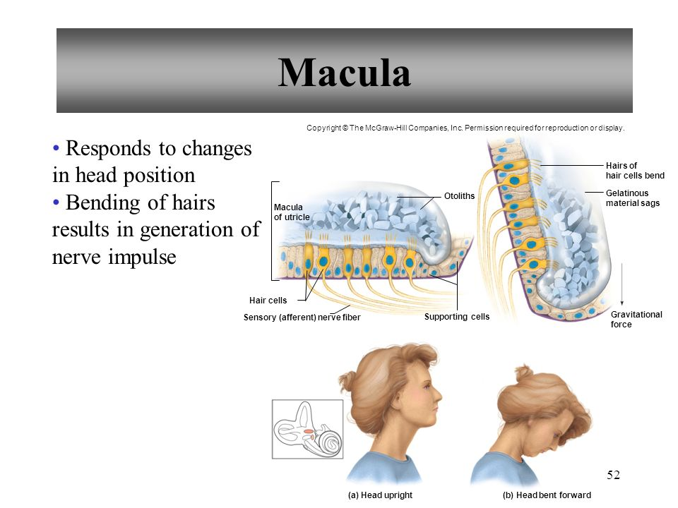 Macula Responds to changes in head position Bending of hairs results in generation of nerve impulse Hair cells Sensory (afferent) nerve fiber Supporting cells Otoliths (a) Head upright(b) Head bent forward Macula of utricle Hairs of hair cells bend Gelatinous material sags Gravitational force Copyright © The McGraw-Hill Companies, Inc.