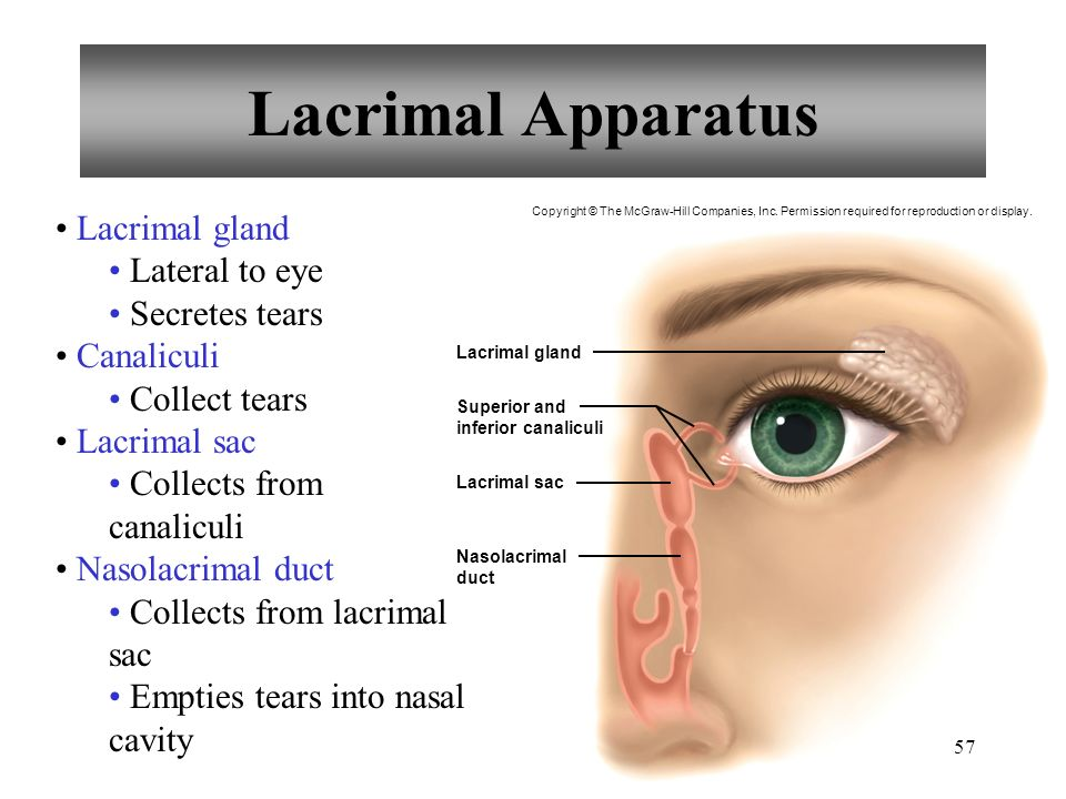 Lacrimal Apparatus Lacrimal gland Lateral to eye Secretes tears Canaliculi Collect tears Lacrimal sac Collects from canaliculi Nasolacrimal duct Collects from lacrimal sac Empties tears into nasal cavity Lacrimal gland Lacrimal sac Superior and inferior canaliculi Nasolacrimal duct Copyright © The McGraw-Hill Companies, Inc.