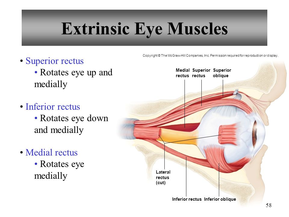 Extrinsic Eye Muscles Inferior rectusInferior oblique Medial rectus Superior rectus Superior oblique Lateral rectus (cut) Copyright © The McGraw-Hill Companies, Inc.